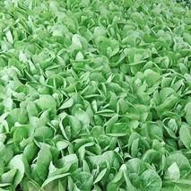 绵阳岩白菜的功效与作用