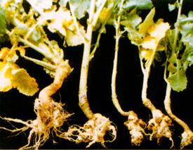 怎样防治油菜根肿病?油菜根肿病的防治方法