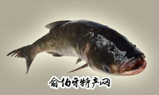 黔西张德洪鲢鱼王