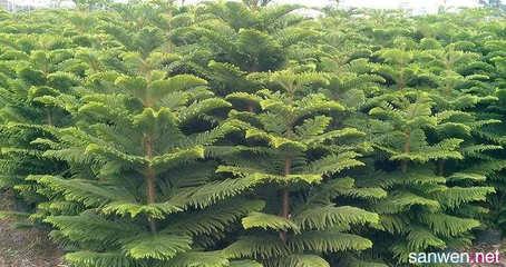 小叶南洋杉怎么养?小叶南洋杉怎么繁殖?