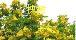 了解黄花槐苗木繁殖方法