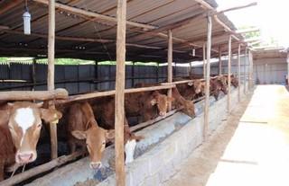 养牛生产用药的注意事项