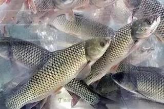 蔡甸索子长河草鱼