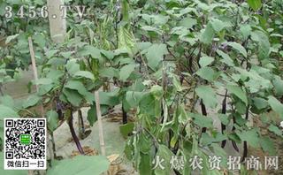 豆类蔬菜根部病害的防治