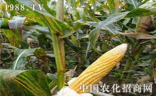 玉米缺锌和缺镁如何区分