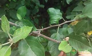 苹果树小叶病如何修剪