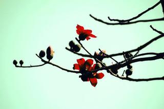 木棉树怎么种植?木棉花种植方法