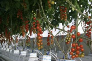 AI种完黄瓜种番茄 腾讯联办国际智慧温室种植大赛