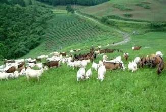 专家称中国畜牧业亟待绿色发展