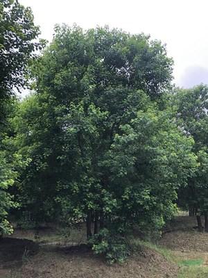 娜塔栎移植的时候注意什么