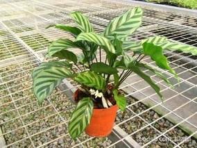 猫眼竹芋怎么养护?猫眼竹芋的养殖方法