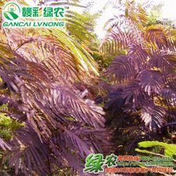 紫叶合欢如何育苗?紫叶合欢栽培技术