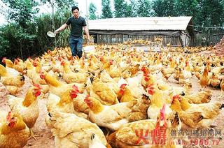 蛋鸡养殖把握好降温与营养搭配