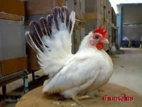 丝光鸡的养殖
