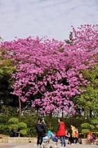 红花风铃木如何育苗