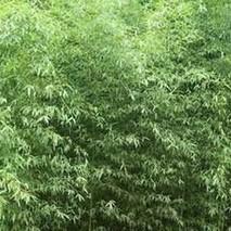 淡竹壳的功效与作用
