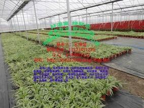 多功能薄膜连栋温室设计方案