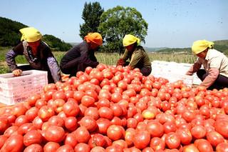 壶关旱地西红柿