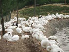 科学养殖番鸭的要点