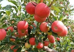 十月苹果成熟期4大关键工作