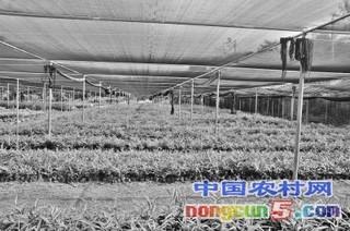 海南:益智种植不再依赖野生种