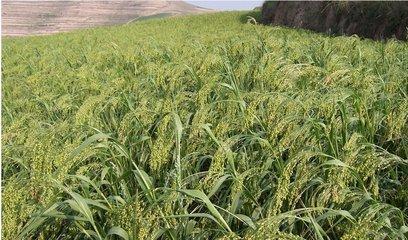 北方种植什么牧草好?适合北方种植的牧草品种