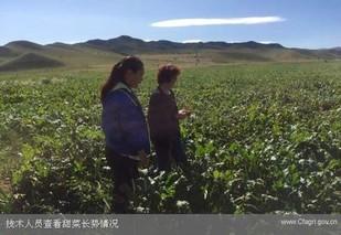 赤峰林西县:甜菜种出好日子