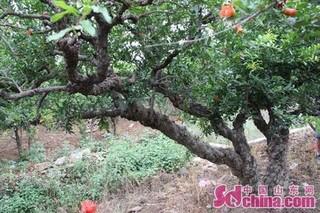 山东省派峄城服务队助力石榴产业开发
