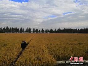 1053.7公斤!安徽水稻单产再创新纪录
