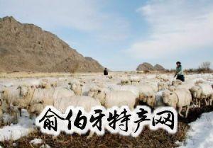 民权细毛羊