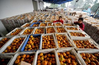 湖北宜昌市:柑橘合作社联结橘农2万余户