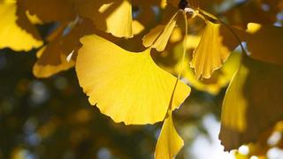 银杏的花语是什么?银杏的寓意和象征
