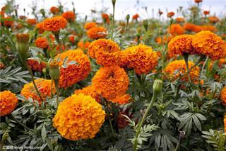 观赏菊花什么时候种?观赏菊花种植方法和时间