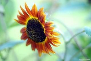 向日葵种植多久开花?向日葵盆栽花期多久?