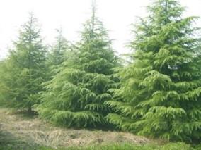 雪松大树移栽及养护要点