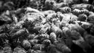 草甘膦伤蜜蜂