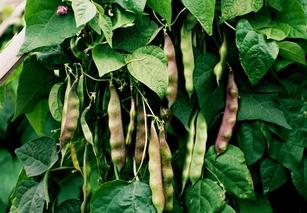 紫花油豆角