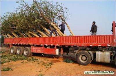 苗木装车运输技巧你知道多少?