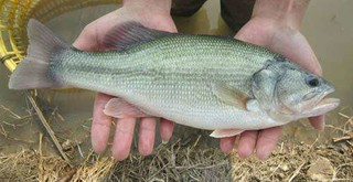 通山县打造华中最大鲈鱼繁育基地