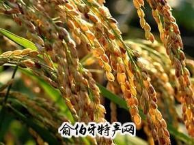赛珍珠的小站稻