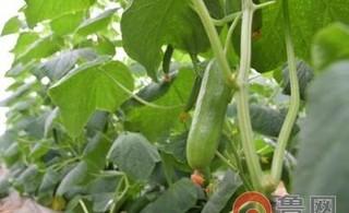 菜农积极自救见成效:黄瓜品相好 一天采摘200斤
