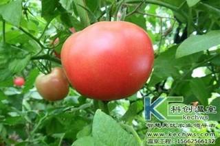 大棚番茄出现僵果的应对方法