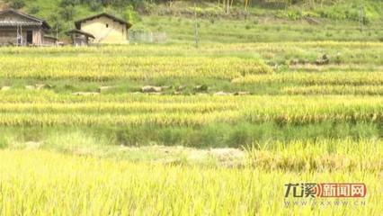 尤溪:中稻新品种试验田抢时插秧