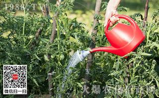 大棚番茄高产施肥技术