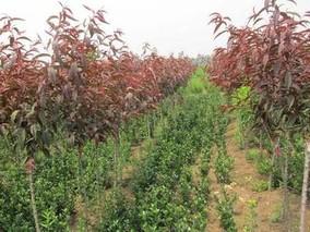 红叶碧桃种植方法介绍