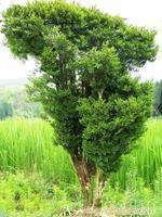 黄杨树的籽有什么用?黄杨树上籽怎么处理?