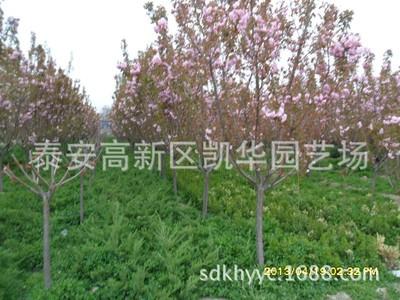 樱花什么时候种植好?盆栽红叶樱花种植技术