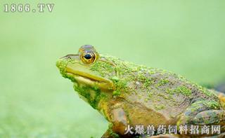 """养牛蛙""""禁令""""大限将至 牛蛙收购价腰斩"""