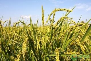 2021年4月份水稻价格如何?水稻最新价格行情介绍