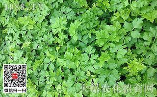 芹菜茎秆细长防治
